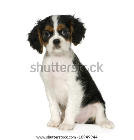 Cavalier King Charles Spaniel (3,5 months) in front of a white background