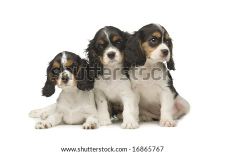 Cavalier King Charles Spaniel (3 months) in front of a white background - stock photo