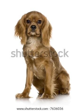 Cavalier King Charles Spaniel (6 months) in front of a white background - stock photo