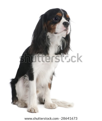 Cavalier King Charles Spaniel (18 months old) in front of a white background