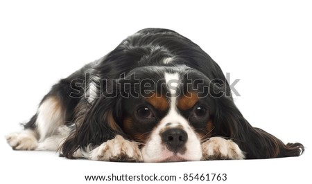 Cavalier King Charles Spaniel, 14 months old, lying in front of white background - stock photo
