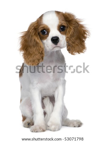 Cavalier King Charles Spaniel, 5 months old, sitting in front of white background - stock photo