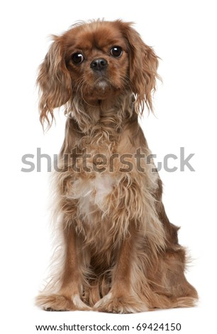 Cavalier King Charles Spaniel, 18 months old, sitting in front of white background - stock photo
