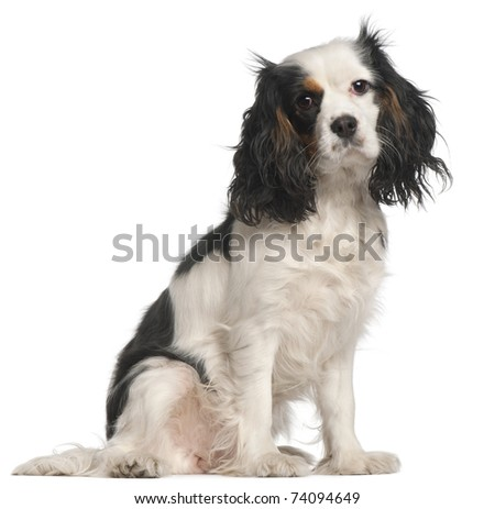Cavalier King Charles Spaniel, 16 months old, sitting in front of white background