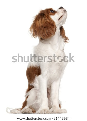 Cavalier King Charles Spaniel, 9 months old, sitting in front of white background