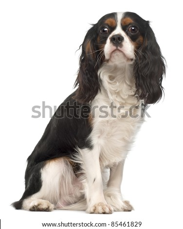 Cavalier King Charles Spaniel, 14 months old, sitting in front of white background - stock photo