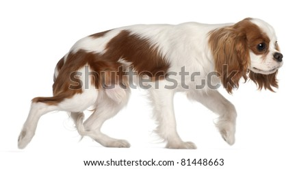 Cavalier King Charles Spaniel, 9 months old, walking in front of white background - stock photo