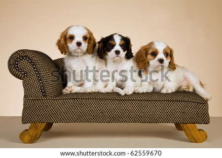 Cavalier King Charles Spaniel puppies on miniature couch - stock photo