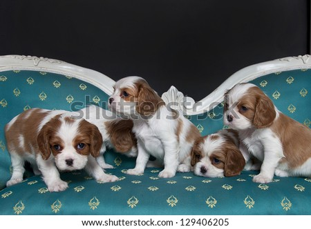 Cavalier King Charles Spaniel puppies on the sopha, cavalier king charles puppies - stock photo