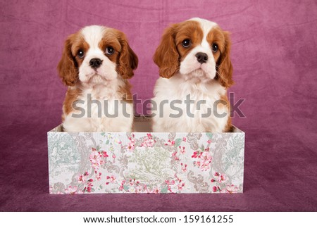 Cavalier king Charles spaniel puppies sitting in gift box on light