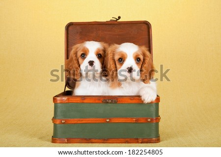 Cavalier King Charles Spaniel puppies sitting inside green wooden luggage suitcase on yellow background