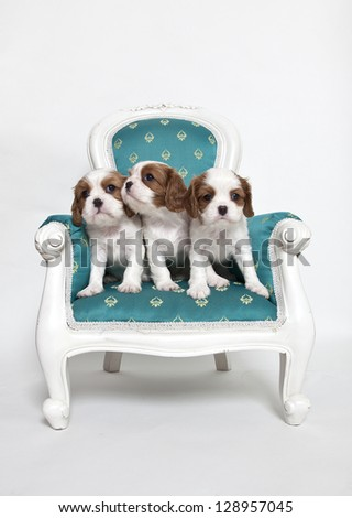 Cavalier King Charles Spaniel puppies sitting on armchair, puppies on armchair - stock photo