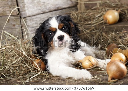 Cavalier King Charles Spaniel puppy - stock photo