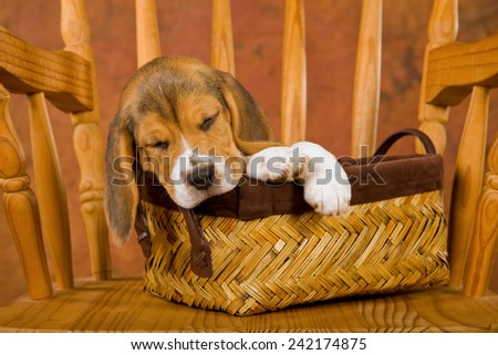 Cavalier King Charles Spaniel puppy and Ragdoll kitten sitting on deep red burgundy background  - stock photo
