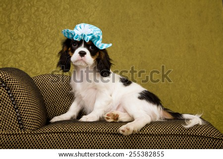 Cavalier King Charles Spaniel puppy lying down on chaise couch sofa wearing blue hat on green background  - stock photo