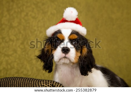 Cavalier King Charles Spaniel puppy lying down on chaise couch sofa wearing Santa cap hat on green background  - stock photo