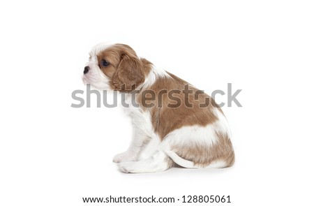 Cavalier King Charles Spaniel puppy 1 month old  isolated in front of white backgroundCavalier King Charles Spaniel puppy