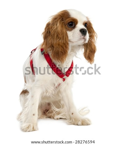 Cavalier King Charles Spaniel puppy (7 months old) in front of a white background - stock photo