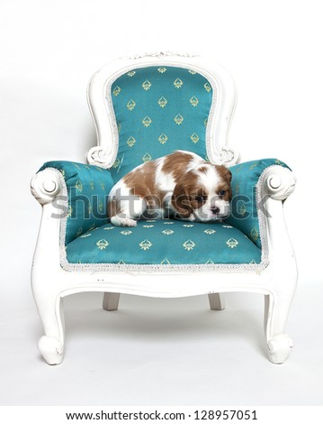 Cavalier King Charles Spaniel puppy on armchair, Cavalier King Charles Spaniel puppy - stock photo
