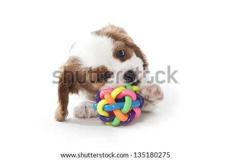 cavalier king charles spaniel puppy playing with ball, cavalier king charles spaniel puppy - stock photo