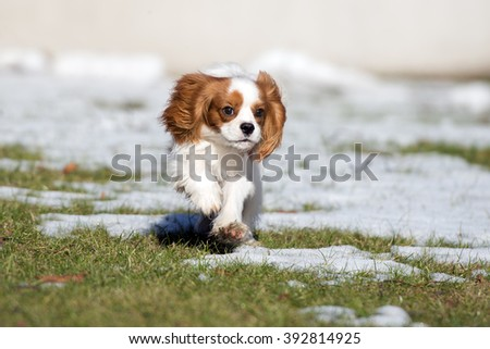 cavalier king charles spaniel puppy running outdoors - stock photo