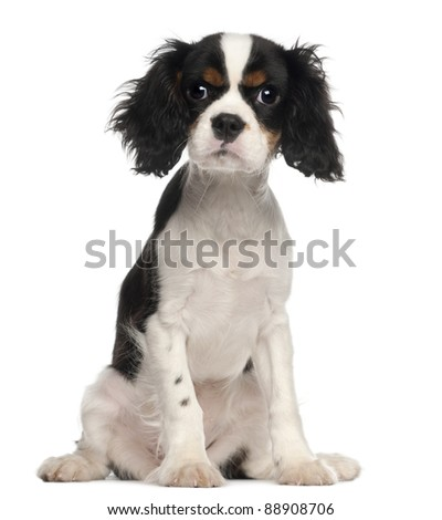 Cavalier King Charles Spaniel puppy sitting in front of white background - stock photo
