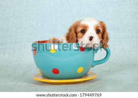 Cavalier King Charles Spaniel puppy sitting inside large blue polka dot cup with saucer on light green blue background - stock photo