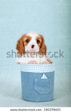Cavalier King Charles Spaniel puppy sitting inside round denim jeans container on light blue green background - stock photo
