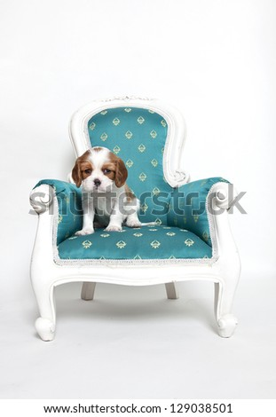 Cavalier King Charles Spaniel puppy sitting on armchair, Cavalier King Charles puppy - stock photo