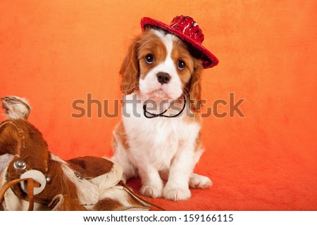 Cavalier king Charles spaniel puppy with miniature horse saddle and miniature leather cowboy hat on orange background