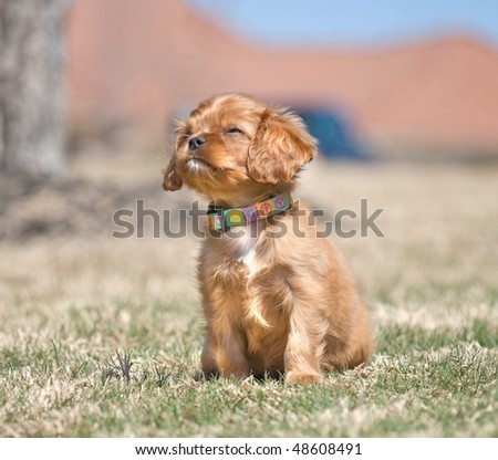 Cavalier King Charles Spaniel Puppy With Ruby Coloration - stock photo