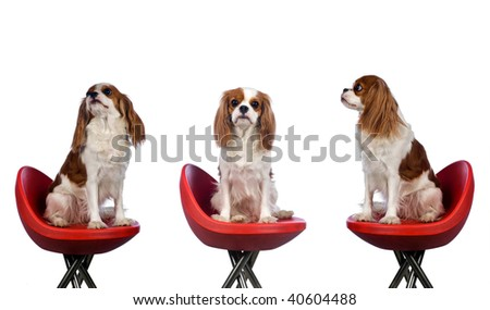 cavalier king charles spaniel sitting in red chair - stock photo