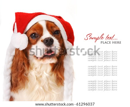 Cavalier king charles spaniel wearing a santa hat. - stock photo