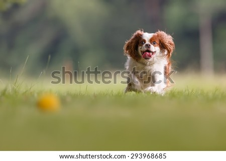Cavalier king charles spaniel with yellow ball - stock photo