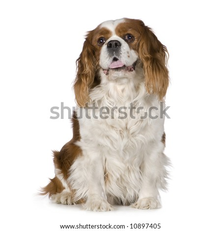 Cavalier King Charles Spaniel (8 years) in front of a white background - stock photo