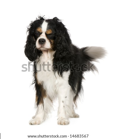 Cavalier King Charles Spaniel (5 years) in front of a white background