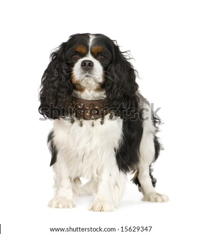 Cavalier King Charles Spaniel (6 years) in front of a white background
