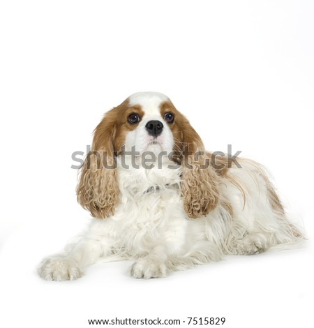 Cavalier King Charles Spaniel (4 years) in front of a white background - stock photo
