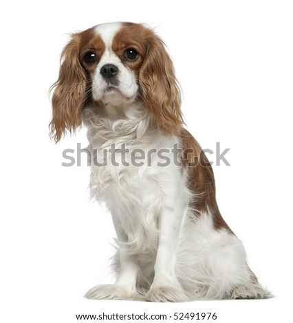 Cavalier King Charles Spaniel, 2 years old, sitting in front of white background - stock photo