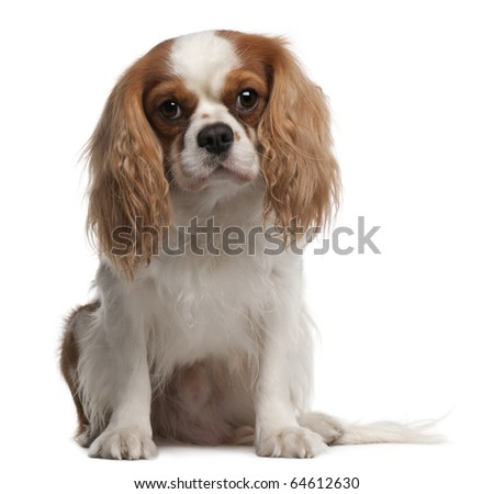 Cavalier King Charles Spaniel, 3 years old, sitting in front of white background - stock photo