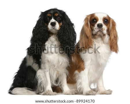 Cavalier King Charles Spaniels, 2 and 3 years old, sitting in front of white background - stock photo