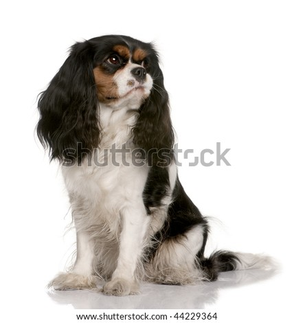 Cavalier King Charles, 2 years old, sitting in front of white background - stock photo