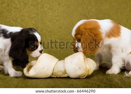 Cavalier puppies chewing on huge bone - stock photo