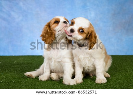 Cavalier puppies kissing licking on green lawn - stock photo