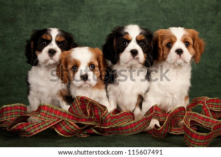 Cavalier puppies with Christmas ribbon on green background - stock photo