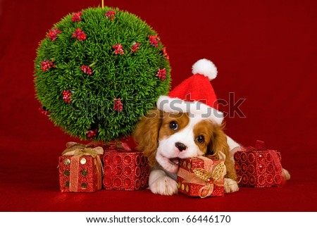 Cavalier puppy chewing Christmas gift - stock photo