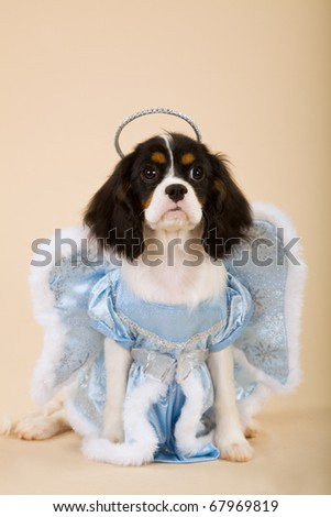 Cavalier puppy in blue Christmas angel outfit