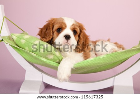 Cavalier puppy on miniature green hammock pink lilac background - stock photo