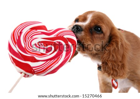 Cavalier puppy with lolly - stock photo