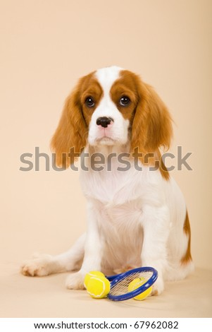 Cavalier puppy with miniature tennis racquet and balls - stock photo